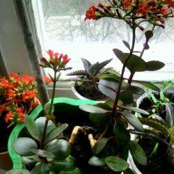 Indoor flower-blooming Kalanchoe red