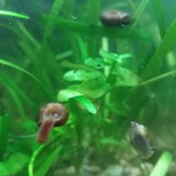 Σαλιγκάρια στο ενυδρείο, 5 είδη, άλγη