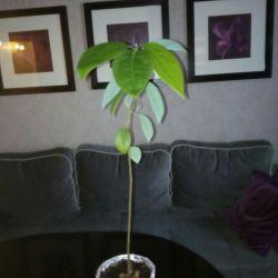 Растение авокадо
