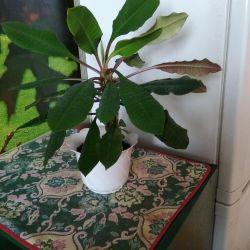Euphorbia (