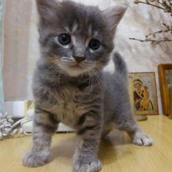 Котята триколор в добрые руки