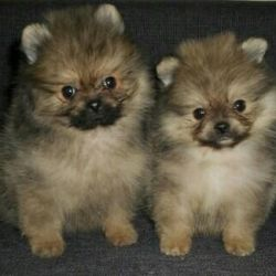 Spitz puppies and adolescents poms with documents