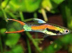 Endler Fish