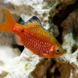 Aquarium fish Golden Barbus