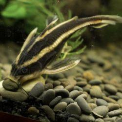 Ψάρια ενυδρείου Platidoras