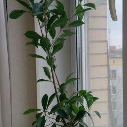 Processes of ficus bonsai, microcarp