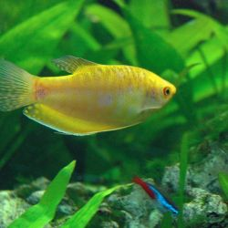 Aquarium fish Gurami golden.