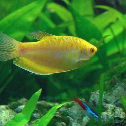 Ψάρια ενυδρείου Gurami χρυσό.