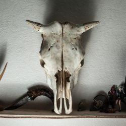 Skull of goat / ram