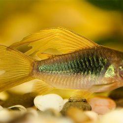 Ψάρια ενυδρείων Χαλκιδική χρυσή.