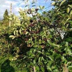 Φυτά μαύρου chokeberry