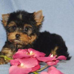 Yorkshire Terrier small girl