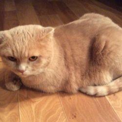 Η γάτα της βρετανικής φυλής προσκαλεί στο ζευγάρωμα