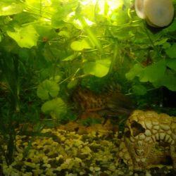 Plante vii pentru acvariu