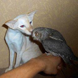 Сова совы карликовые