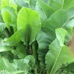 Листья хрена,укроп,петрушка(все без химии)