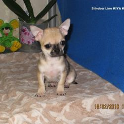Chihuahua y / w girl, fawn color