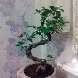 Ficus Microcarp. Bonsai
