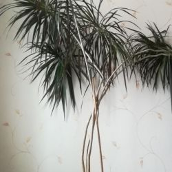Palm tree 2.4 m high