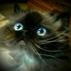 Mavi gözlü, orta derecede iyi beslenen kedi, çiftleşmeye davet!