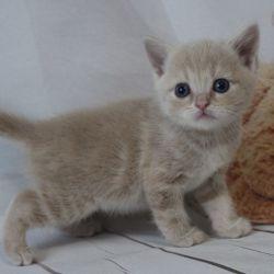 Cat Scottish Straight, κρέμα από μάρμαρο, SCS, WСF