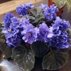 Varietal Violets