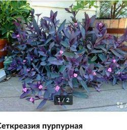 Sethreasia purple.