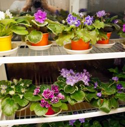 Two shelves for violets on the whole window sill