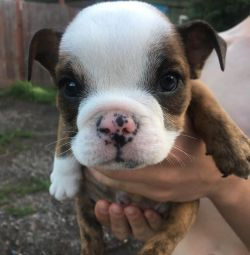 Bulldog sale or exchange for pre-offer