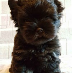 Chocolate York Puppies