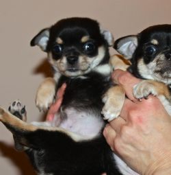 A chihuahua boy with a sub. g.
