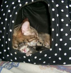 Котёнок мраморного бенгала
