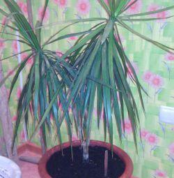 Palma dracaena ve aloe vera