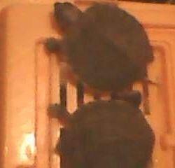 Mici broască țestoasă roșii de 2-5 cm