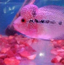 De bună calitate pește de corn de flori de vânzare