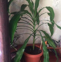 Palma 🌴 (dracaena)