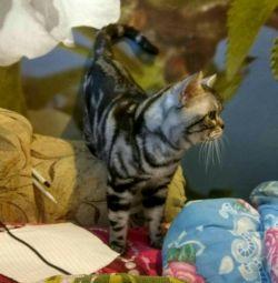Tricotat cu pisica britanica