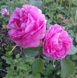 Класична англійська паркова троянда