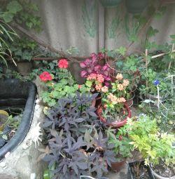 Ficus και άλλα φυτά εσωτερικού χώρου