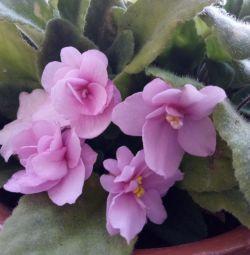 Violet pink.