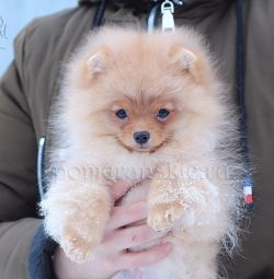 Orange girl Pomeranian Spitz