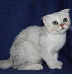 Scottish green-eyed silver