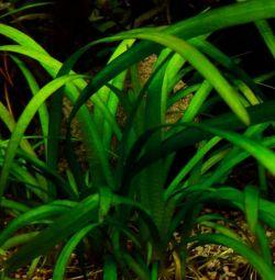 Аквариумное растение Сагиттария Субулата
