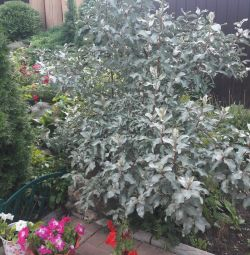 Goof silver shrub