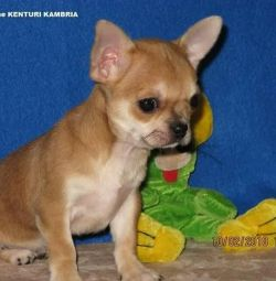 Yavru Chihuahua kız