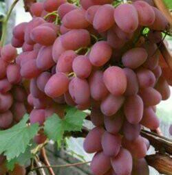 49 Helios vine saplings