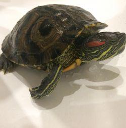 Kırmızı karınlı kaplumbağa 🐢