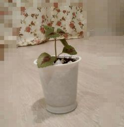 room flower Koleos