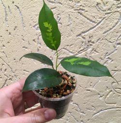 Ficus Denilight