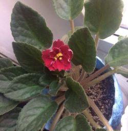 Βιολετί λουλούδι
